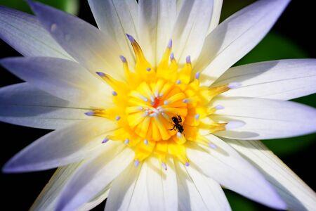 White lotus flower.