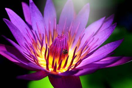 Purple lotus flower background.