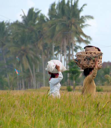 porting: women carrying rice on their heads in a rice field