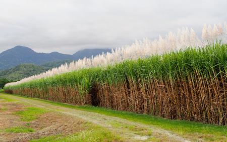 ケアンズ、オーストラリア、クイーンズランド州のサトウキビ畑