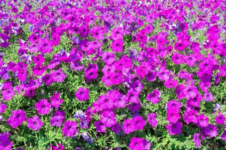 petunias: Beautiful Petunias flowers, Petunias in garden Stock Photo