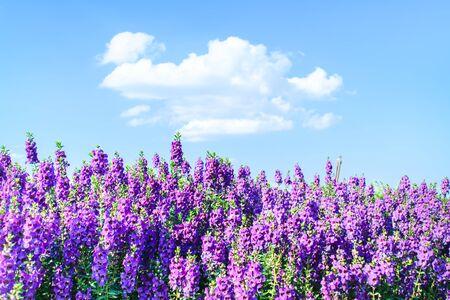 lavender coloured: Lavender, Lavender Coloured, Flower.