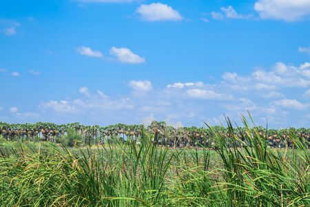 toddy palm: Toddy or Sugar palm with blue sky Stock Photo