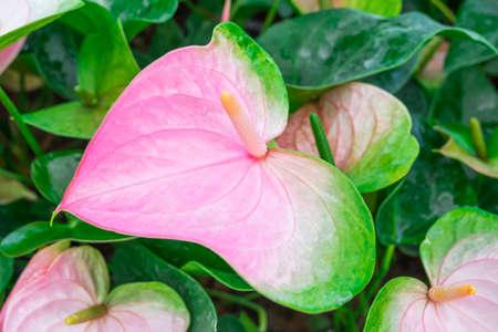 spadix: Beautiful spadix flower in the garden.