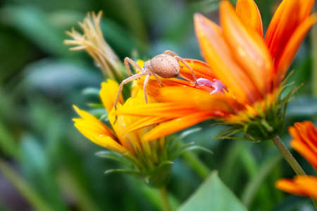 spider on big beautiful gazania with drop