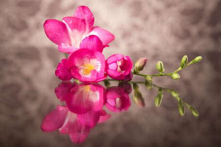 freesia: Beautiful pink freesia