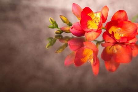 freesia: Beautiful red freesia Stock Photo