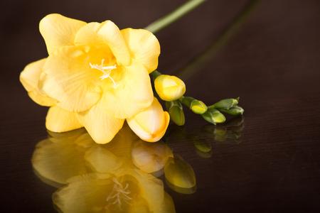 freesia: Beautiful yellow freesia