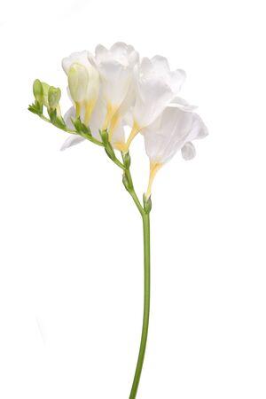 delicate: Delicate white freesia blossom on white background. Stock Photo