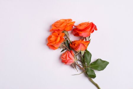 season s greeting: Bunch of roses on white background. Stock Photo