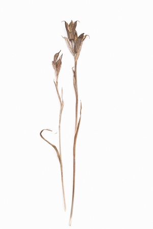 roughage: abstract brown twig of dried bush with small open bolls seeds, flowers, isolated elements on white background for scrapbook, object, roughage autumn leaf Stock Photo