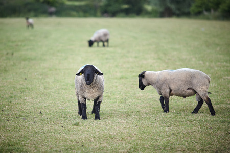 normandy: Black sheeps in the midle of farm