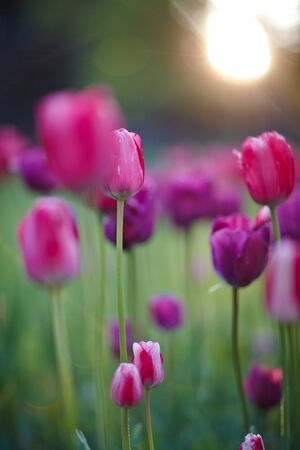 many purple tulips on the field at sunrise