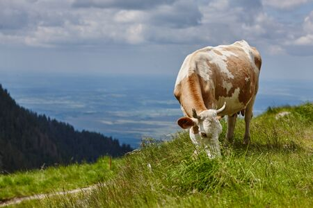 cow eat grass in the meadow against the background of the forest