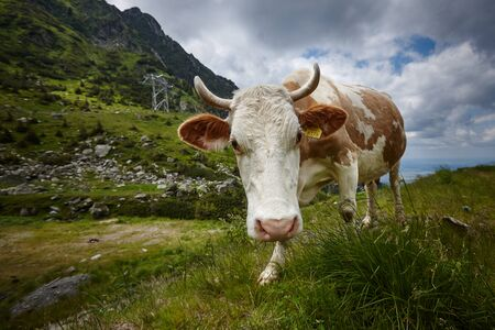 brown-white cow eating grass in the meadow