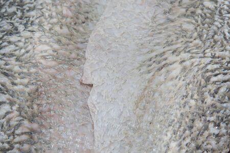 white perch: Fillet of fresh raw fish white perch
