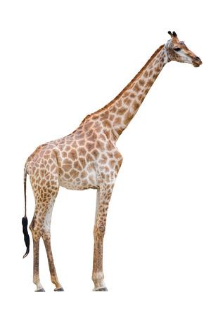 giraffes isolated (giraffe) Stock Photo