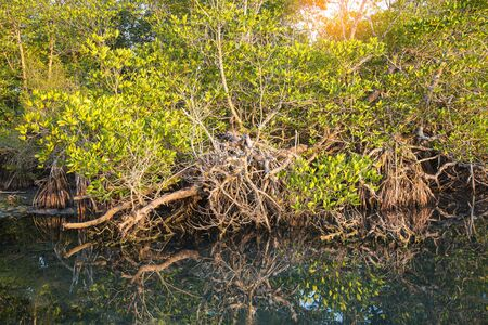 the topical: Mangrove forest topical rainforest for background,Big tree root. Stock Photo