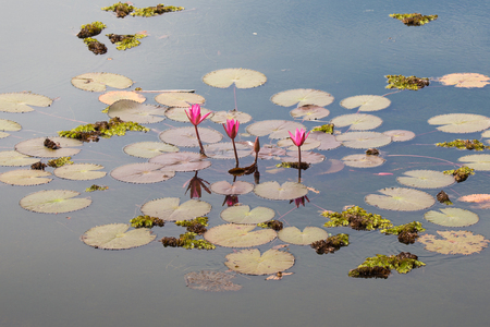 nymphaeaceae: pink color fresh lotus blossom or water lily flower blooming on pond background, Nymphaeaceae