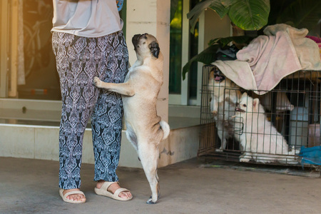 carlin: The embroidered dog pug was glad that the owner came home. Stock Photo