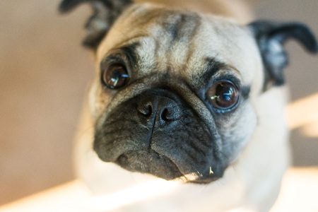 Pug Dog and lighting in evening with happy
