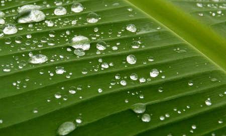 gotas de agua: gota de agua en hoja de plátano Foto de archivo