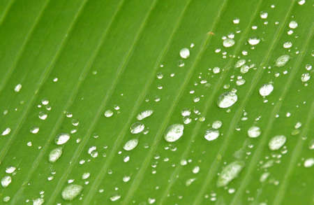 kropla deszczu: kropla deszczu na liściu bananowca