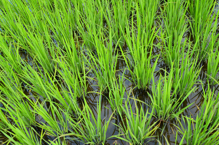 l agriculture: rice paddy, rice cultivation