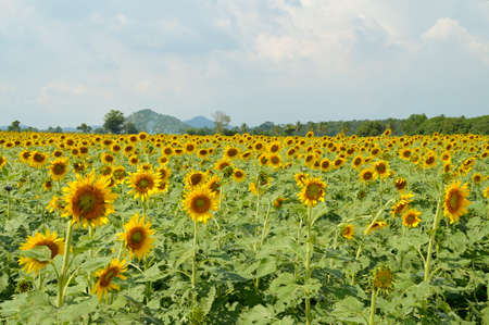floriculture: beautiful sunflower field in Thailand