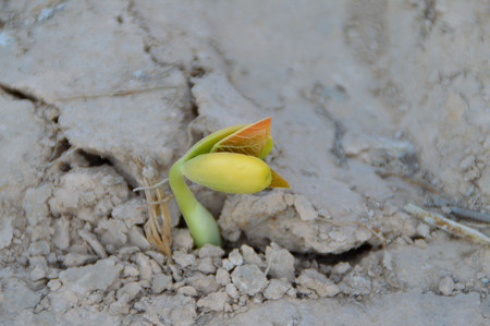 germinate: seeds germinate from the soil Stock Photo