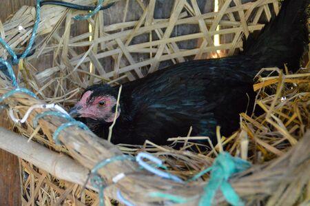 hen lay eggs Stock Photo