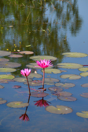 beautiful water lily in the pond