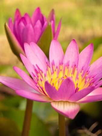 Beautiful blossom pink lotus flower or waterlily on natural green background,power of nature concept Zdjęcie Seryjne