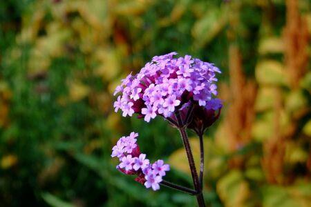 closeup: Little violet flowers , closeup
