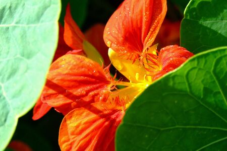 closeup: Orange flowers under green leaf and sunlight , closeup