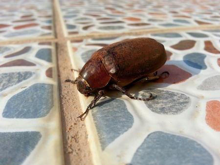 closeup: Dung beetle, closeup Stock Photo