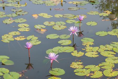 corbel: Lotus flowers Stock Photo