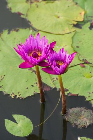 corbel: Twin lotus Stock Photo