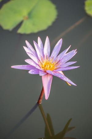 corbel: Lotus flower Stock Photo