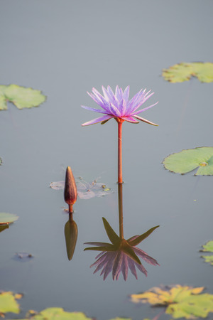 imminent: Twin lotus flowers