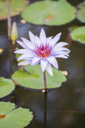 imminent: Lotus flower Stock Photo