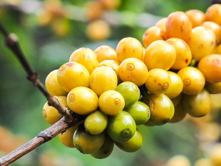 kona: Raw yellow coffee beans in the day light. Stock Photo