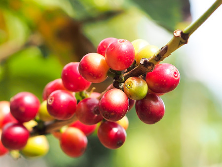 kona: Raw red coffee beans in the day light. Stock Photo