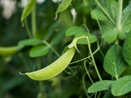peas in a pod: Rip green peas a pod growing on the farm, closeup. Stock Photo