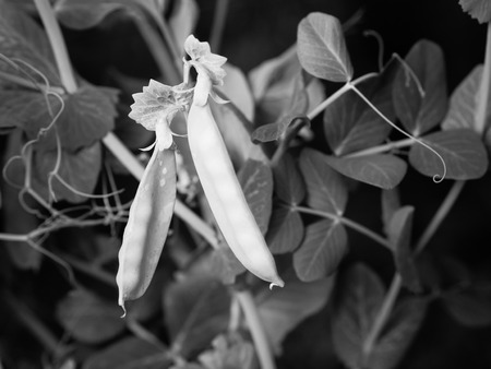 peas in a pod: Rip green peas a pod growing on the farm, closeup with black and white color effect. Stock Photo