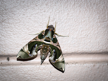 Green night moth Dephnis nerii Linneaus with flash light and vignette effect.