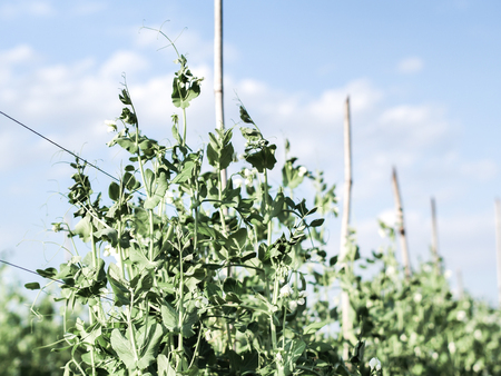bush to grow up: Peas growing in the field with day light and wintage color effect.
