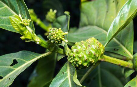 great morinda: Fresh green Indean mulberry, beach mulberry, great morinda, Tahitian noni