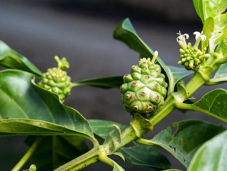 tahitian: Fresh green Indean mulberry, beach mulberry, great morinda, Tahitian noni