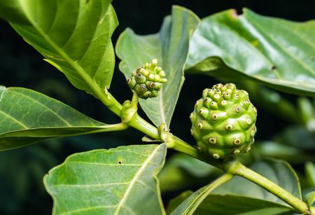 noni: Fresh green Indean mulberry, beach mulberry, great morinda, Tahitian noni